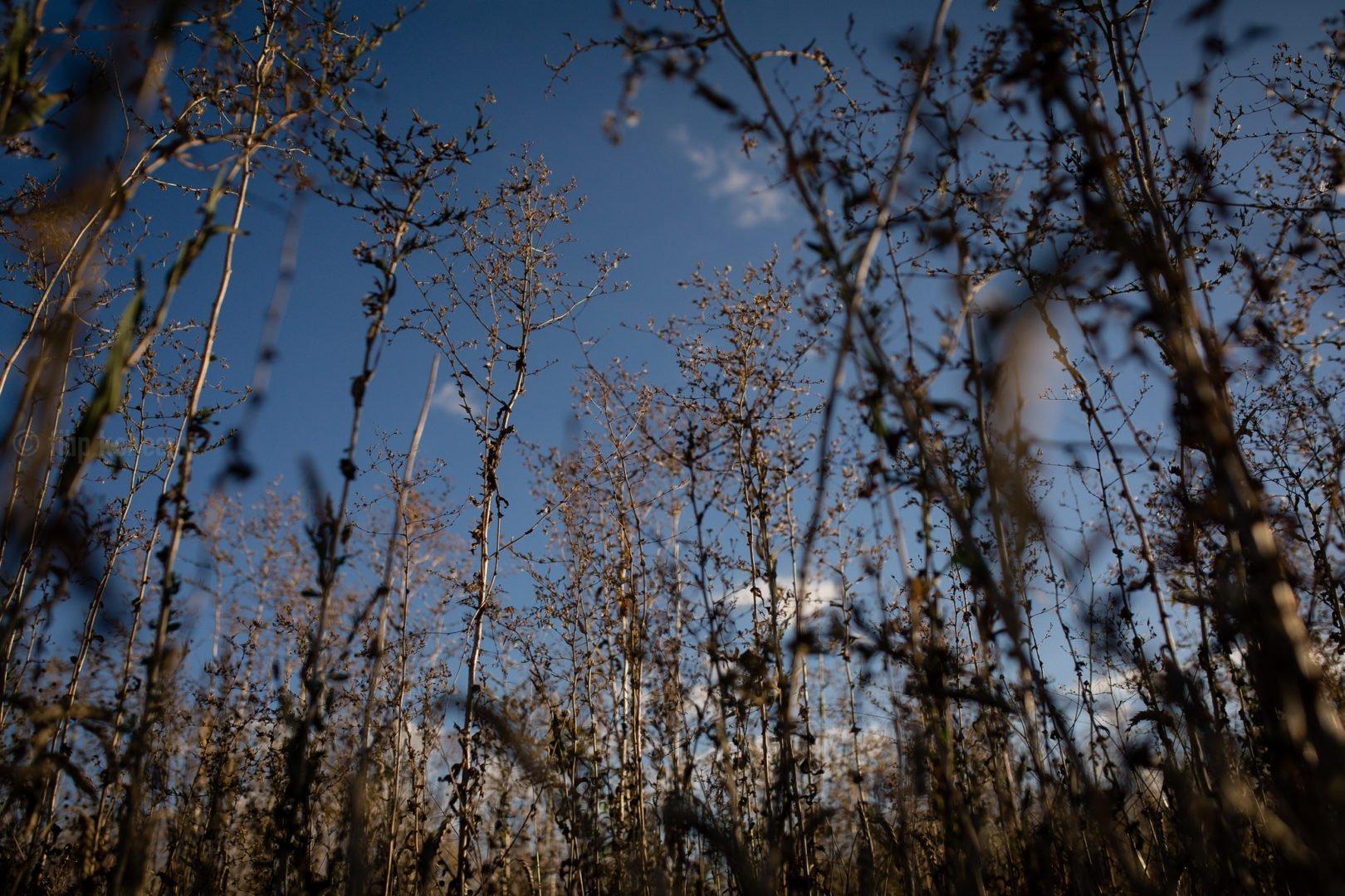 photo of weeds shot against blue sky
