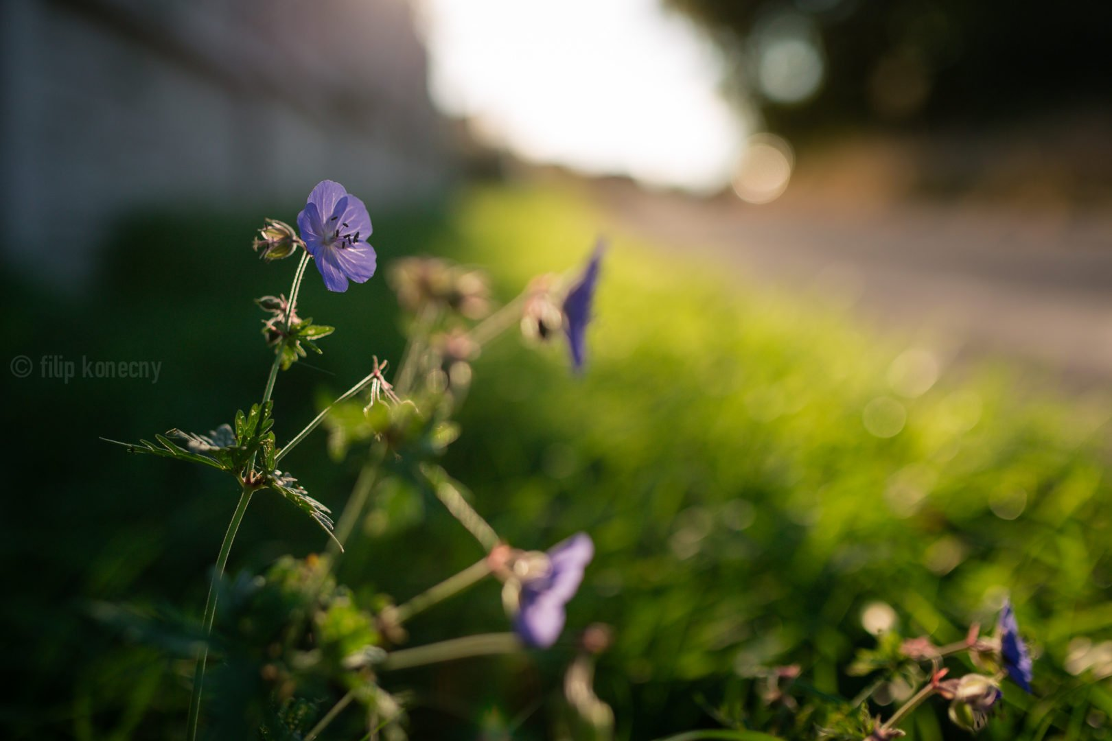 pretty flower at sunset by the road