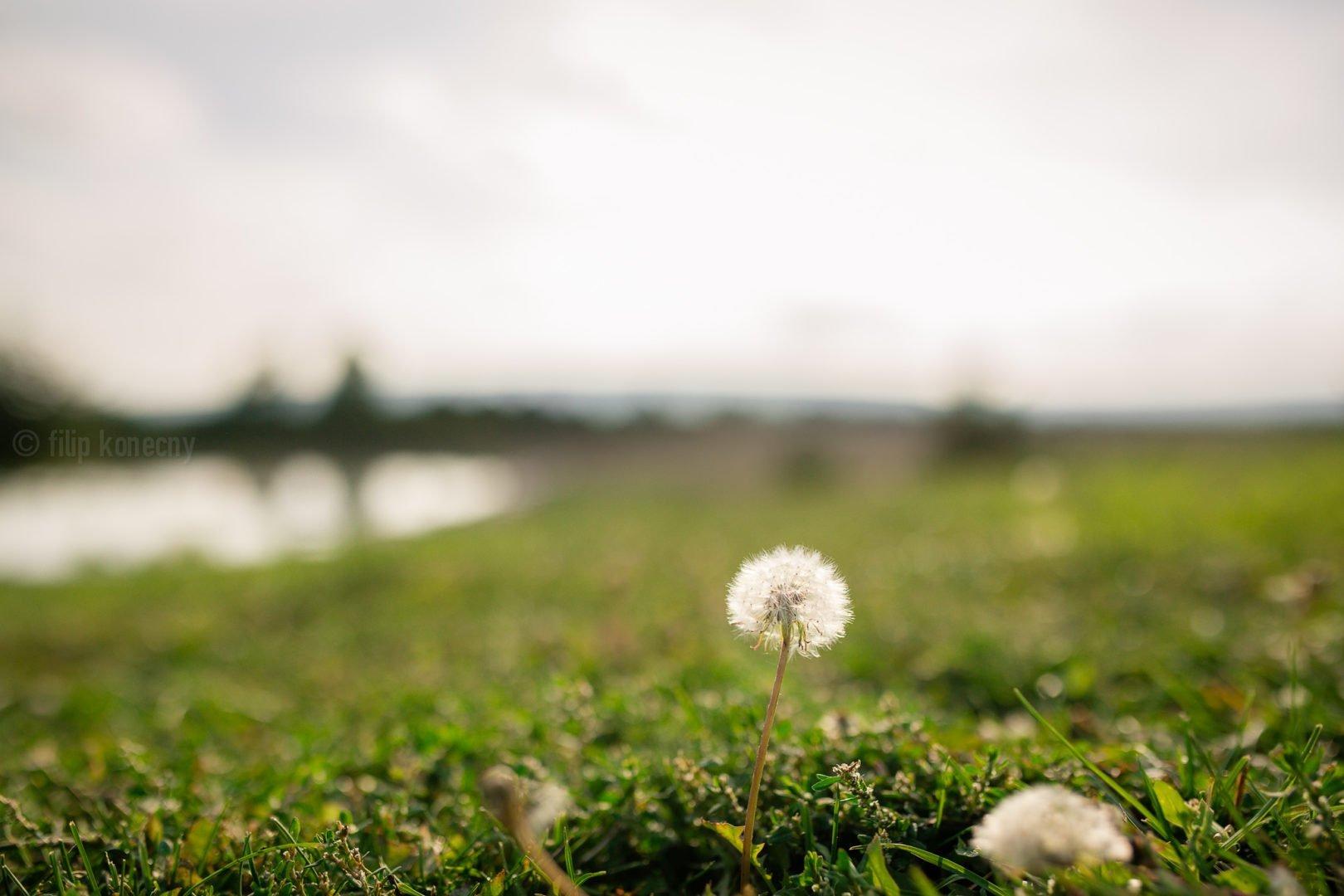 dandelion in landscape