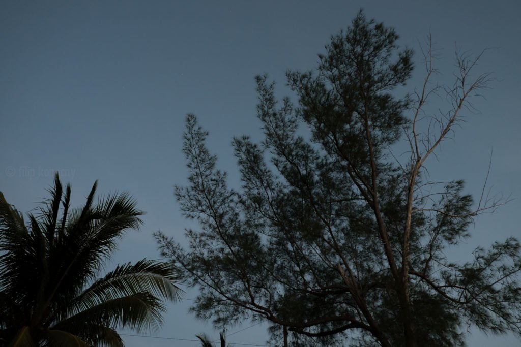 tall pine tree after dusk in the florida keys