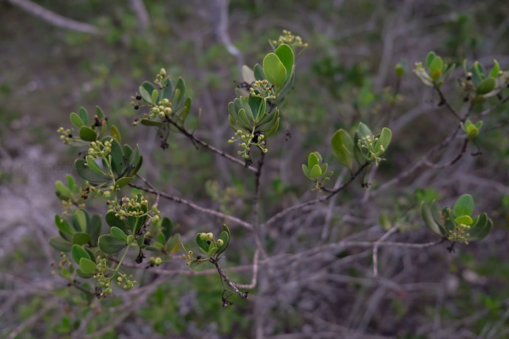 close up photo of little green buds on bush