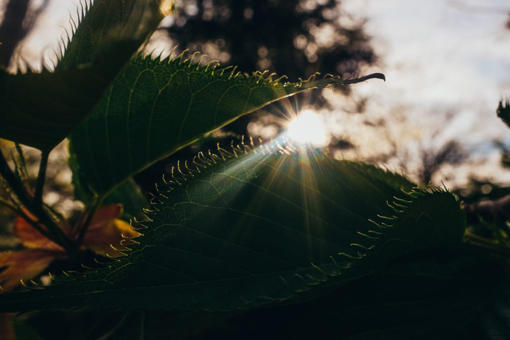 tree leaves with sun flare